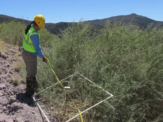 Photo of scientist using 1 meter quad and tape measure to assess revegetation on a waste rock slope.