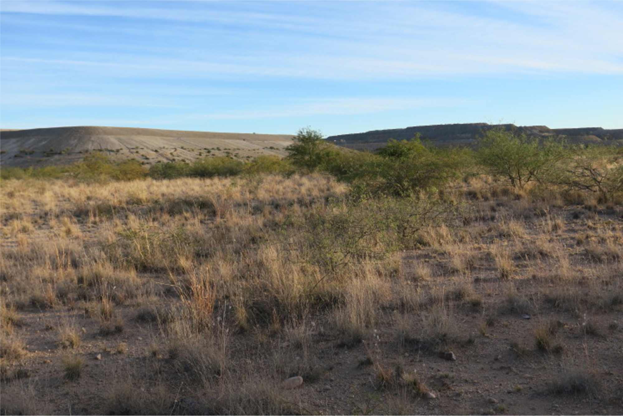 Photo of revegetated tailings facility with grasses and mesquites/acacias.